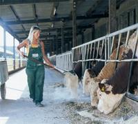 Frau füttert Kühe