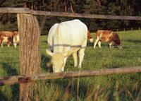 Kuh auf Weide