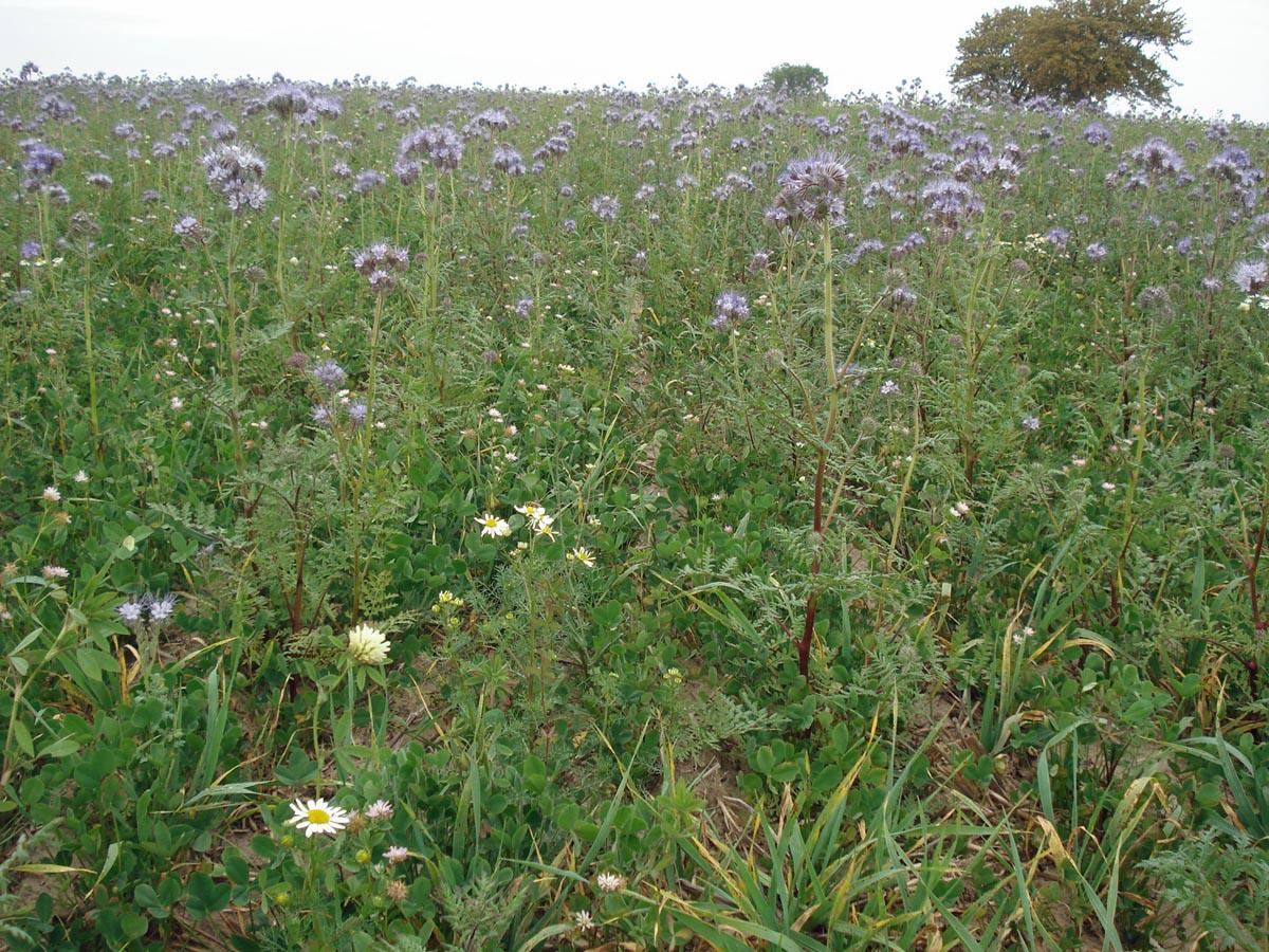 Grüne Wiese mit Zwischenfruchtanbau gegen Wasser- und Winderosion