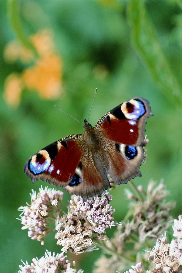 Schmetterling Tagpfauenauge Foto: Walter Thiel